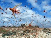 Cairo affected by locusts