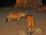 Urban hyenas pose threat in Addis Ababa