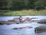 Hippo under threat in Lake Manyara