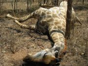 Increased giraffe poaching in Arusha region