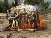 Ethiopia burns ivory to discourage poaching