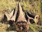 Rhino horns go missing in Maputo