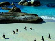 African Penguins at risk of extinction
