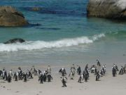 Cape Town protects its penguins