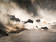 Over 300 wildebeests die crossing the mara river