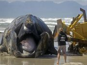 Stranded Humpback whale washes onto a beach near Cape Town